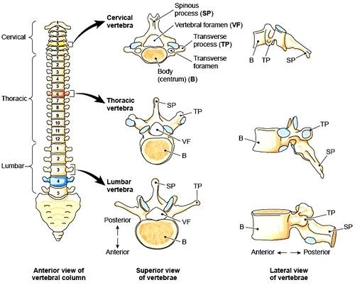 12 best vertebral column images on pinterest | human anatomy, Human Body