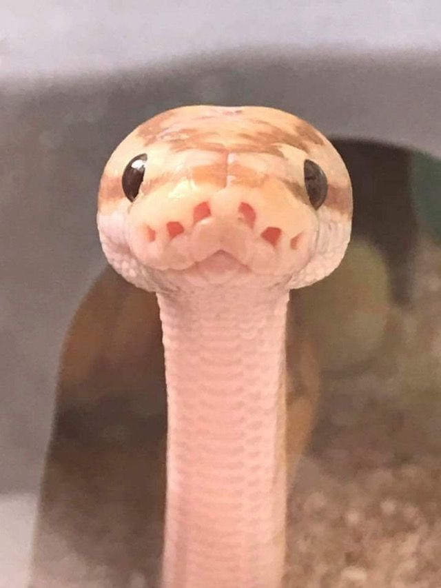 Привет змея смешные картинки, для открыток распечатать