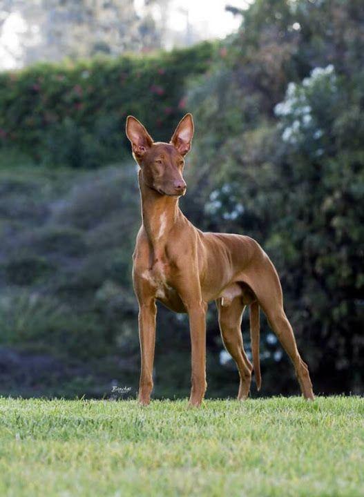 Pharaoh Hound.