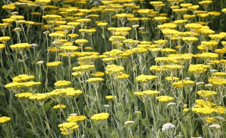 Ein echter Dauerblüher ist die Gold-Garbe (Achillea-Filipendulina-Hybride). Von Juni bis September zeigt sie auf langen Stielen ihre flachen, meist gelben Blütenstände. Die Gold-Garbe breitet sich nicht so aus wie ältere Sorten der Schaf-Garbe, braucht etwas feuchtere Böden und ebenfalls viel Sonne. Als gute alte Sorte gilt 'Coronation Gold' (goldgelb, 70 cm). 'Feuerland' (leuchtend rot, variierend, 100 cm) ist eine neuere, viel versprechende Züchtung.
