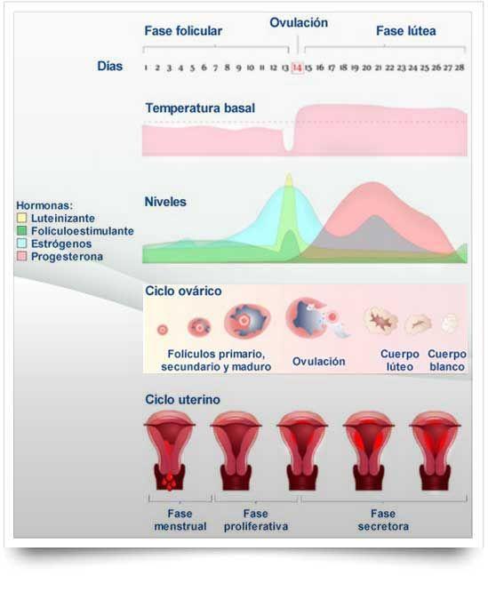 Ciclo ovárico y uterino
