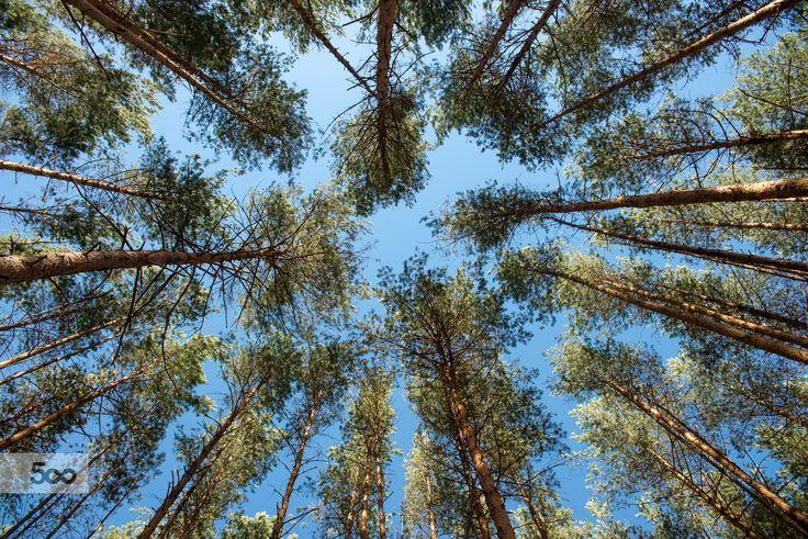 Photo pine trees in the sky by Evgeniy Nesvetaev on 500px