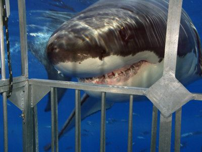 Dive in a shark cage