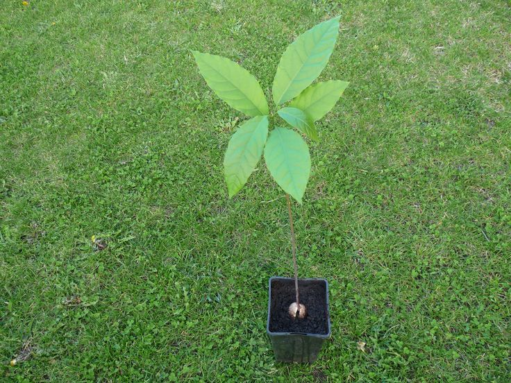 How to sprout an avocado seed and grow the plant