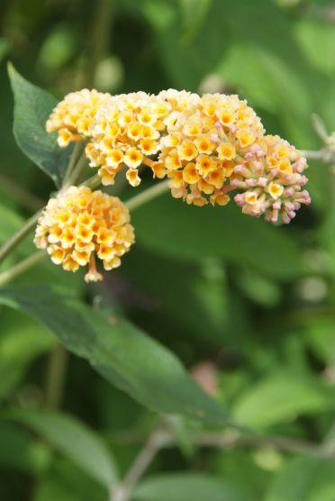 Buddleja x weyeriana 'Sungold' - vlinderstruik