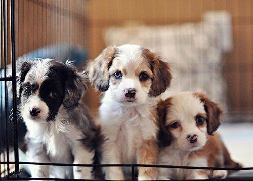 puppies!Bucketlist, Buckets Lists, Little Puppies, Pets Dogs, Aussies Puppies, Shelters Dogs, Little Dogs, Animal, Pets Adoption