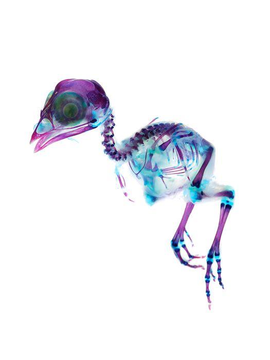 ウズラ(Uzura) 分類:鳥類 キジ目 キジ科 学名:Coturnix japonica 作品サイズ:85mm