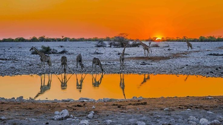 A tower of giraffe gathering to drink at the Okaukuejo water hole during a beautiful African sunset