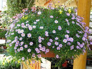 Brachycome iberidifolia - všelicha štěničníkolistá
