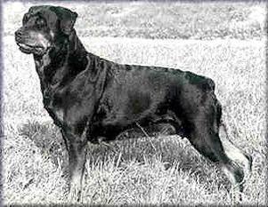 #Rottweiler // Dina vom Kaiserberg (1963) | working-dog.eu