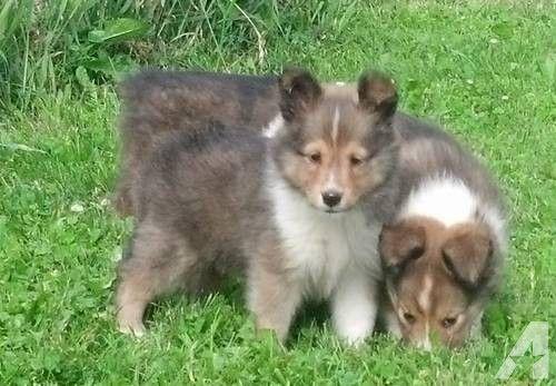 Shetland Sheepdog Sheltie Puppies for Sale .