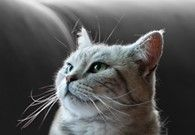 Use Purina's Cat Breed Selector to find the best cat breed for you and your family. Choose your ideal cat breed based on your lifestyle preferences.