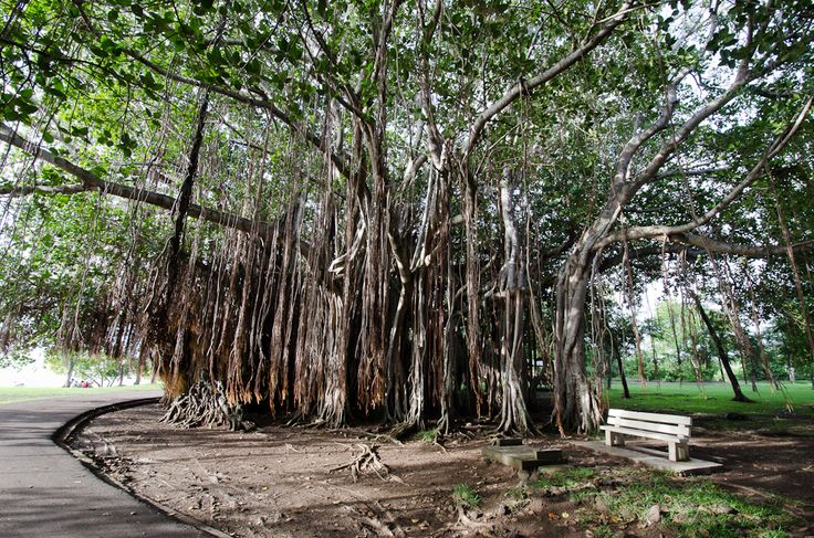 Grown-up Travel Guide Daily Photo: Banyan Tree, Port Louis, Mauritius