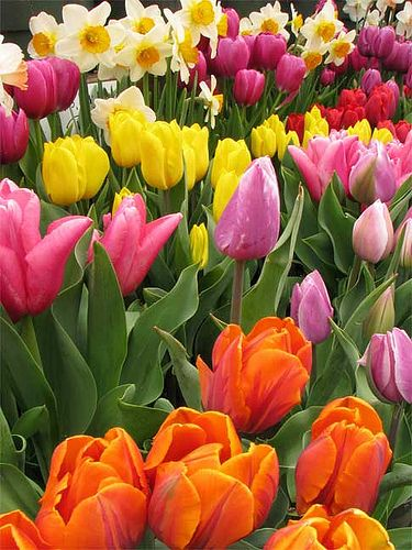 Daffodils and tulips...the flowers of spring