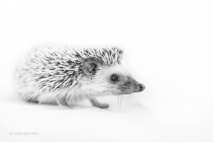 Hedgehog - 6x9 inches Fine Art Photograph - Original Signed Photo Print - a small African hedgehog (VaidaPhoto)