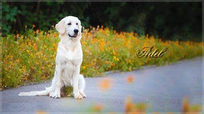 Наши внуки/Our grandchildren - Gold Kiss Lady Luck питомник щенки золотистого ретривера