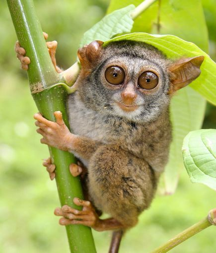 'Smiling' Tarsier of Siau Island inhabits only one small Indonesian Island dominated by an active volcano and is among the species newly identified in 2011 as critically endangered. #Tarsier #Siau_Island #Indonesia