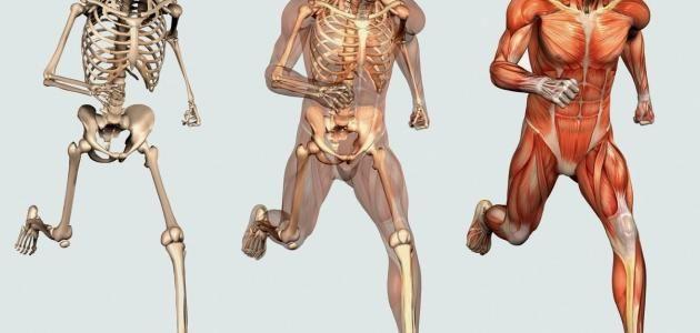 تمثل عضلات جسم الانسان ما يقرب من 40 من وزن الجسم الكامل كم عدد العضلات في جسم الانسان هذا السؤال يدور في ذهن الكثير من الأشخاص فقد تبلغ عدد العضلات في جسم
