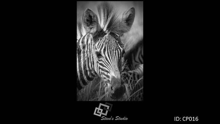 CP016 Zebra, wildlife, photography