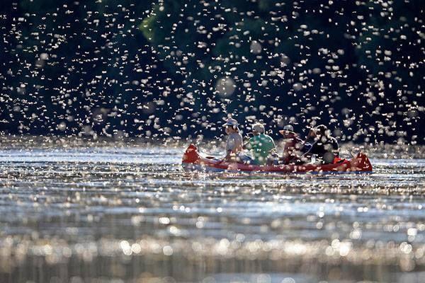 Tiszavirágzás - Tisza - Alföld - Délvidék - Hungary  A tiszavirág, a kérész 8-12 centiméter hosszú, színpompás rovar, melynek szárnyfesztávolsága eléri a 6-7 centimétert. A víz felszínére rakják a petéiket, és lesüllyednek a Tisza fenekére és ott fúrják a földbe magukat.
