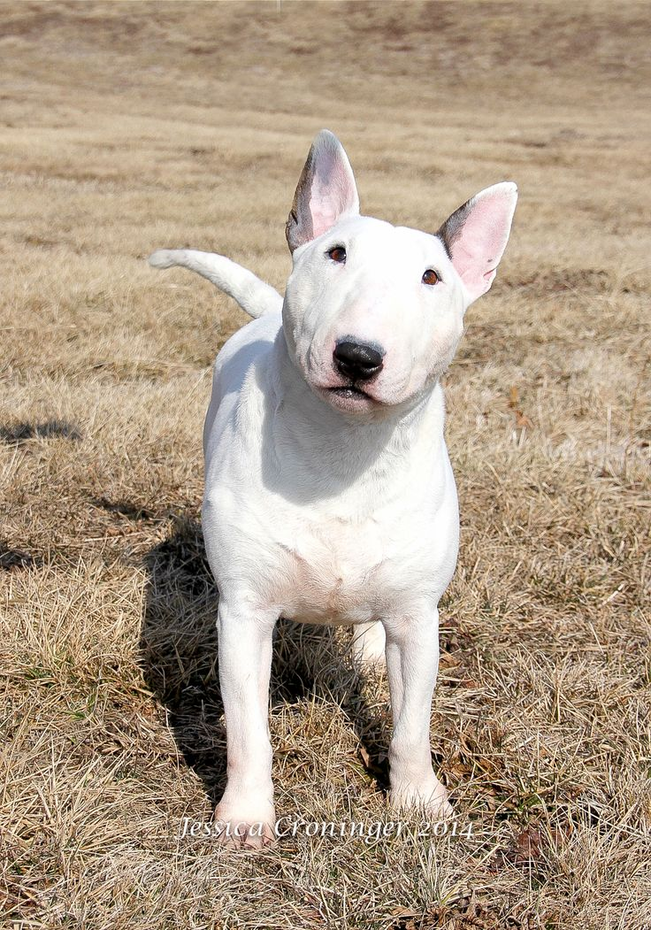 Kenron Miniature Bull Terriers. Such a pretty white one!