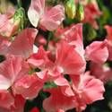 Sweet Peas: How to Plant, Grow, and Care for Sweet Pea Flowers: Gardens Ideas, Sweetpea, Mornings Glories, Peas Vines, Pale Pink, Sweet Peas Flowers, Cut Flowers, Hanging Baskets, Growing Sweet