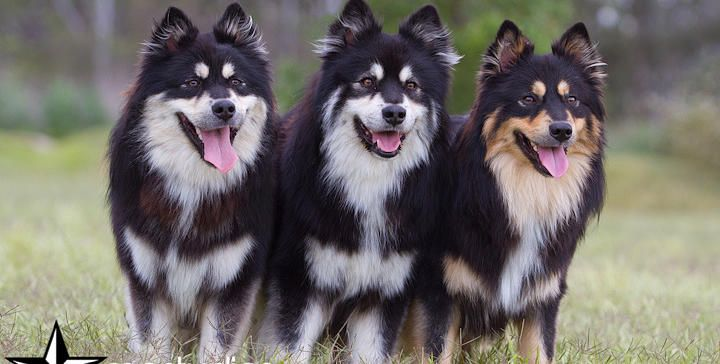 17 Best images about Dog Colors - Tan Points on Pinterest ...