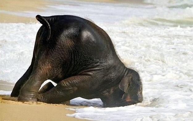 Baby elephant playing at the beach