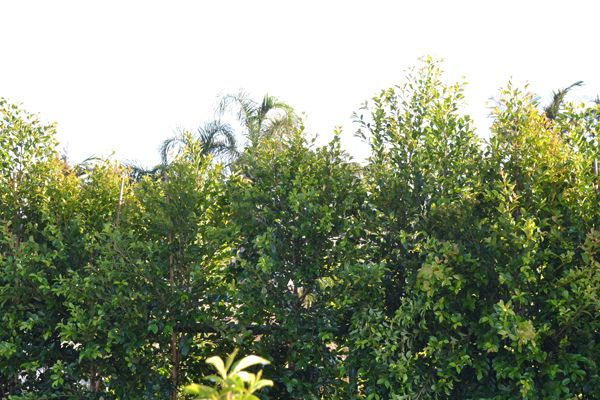 Syzygium paniculata 'Backyard Bliss - (Backyard Bliss, Lilly Pilly) - Din San Nursery Plant Database