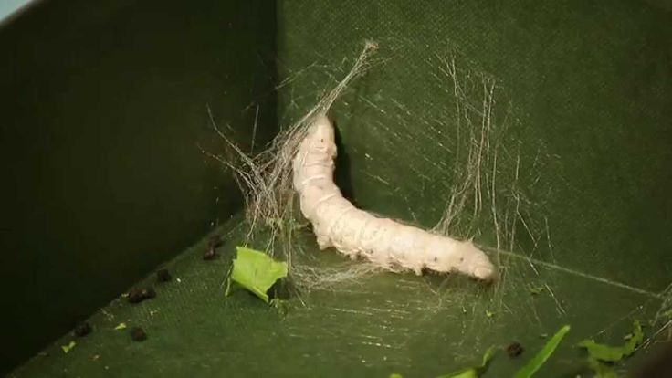 Storybook of Science, Ch XXIII Silk AO Year 4 Time lapse video - 30 hrs of a silkworm's life