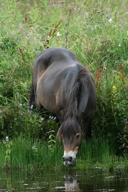 Exmoor Pony by Hilary Chambers on Flickr.: Exmoor Pony by Hilary Chambers on Flickr.