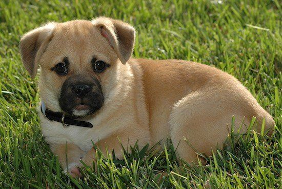 Cute Corgi Cross Breed Dogs Who Will Win You Over With Their