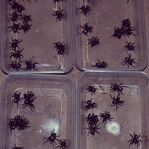 Trapdoor Spiders Bite: 92 Best Spiders Images On Pinterest