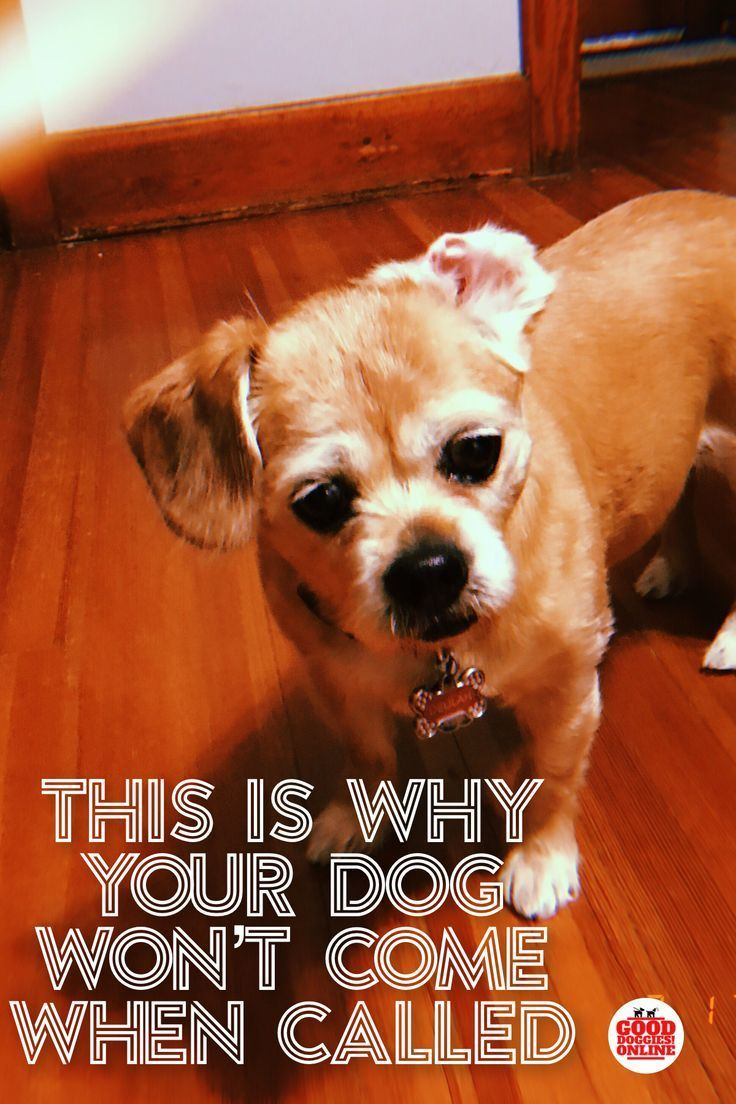 This Is Why Your Dog Won T Come When Called Dog Training Come
