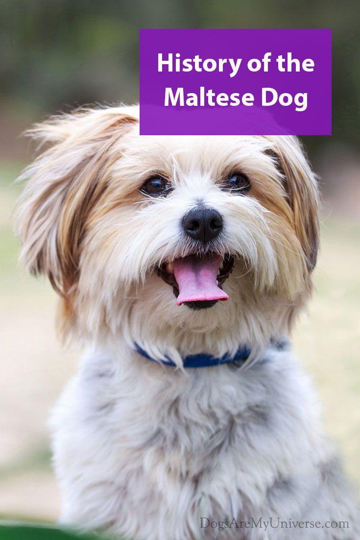 Maltese Terrier Breed Information Maltese Dogs Terrier Breeds