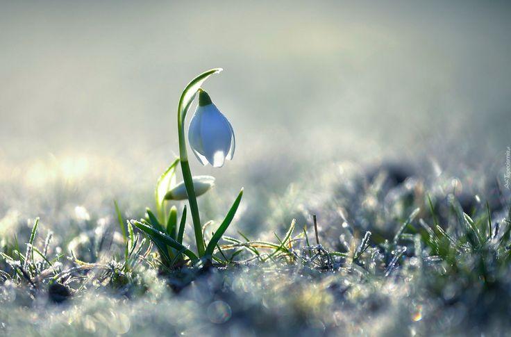 Kwiat, Przebiśnieg, Bokeh, Wiosna
