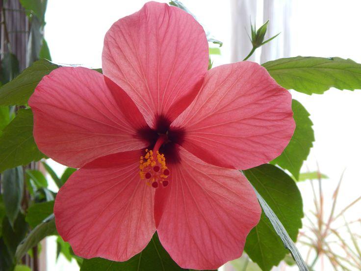 macro flower Hibiscus