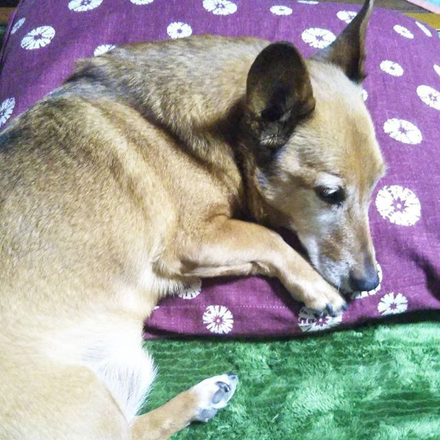 Zabuton is his favorite place. Zabuton is a floor cushion. It's used when sitting on a tatami floor.  クッペちゃんの最近のお気に入りは座布団です。ホットカーペットにゴロンと寝転がり、座布団枕に一日寝ています🐶  #dogstagram #dog #mydog #family #instadog #zabuton #december #winter #japan #わんこ #愛犬 #12月