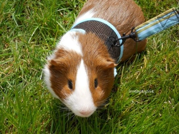 142 best guinea pig images on pinterest guinea pigs pigs and pig this guinea pig what is the best animal on a leash publicscrutiny Image collections