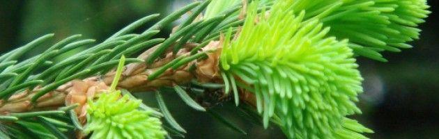 Sirop de bourgeons de sapin - Recettes - Valais Terroir - Source de plaisir