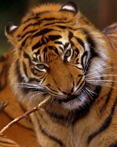 Www Bing Com1 Microsoft Way Redmond: 17 Best Images About TIGRE DE BENGALA (Bangladesh, India