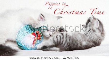 Kittens playing in Christmas time - New on @shutterstock #christmas #xmas #noël #natale #gatti #gattini #mici #puppycat #puppies #kittens #chats #chiots