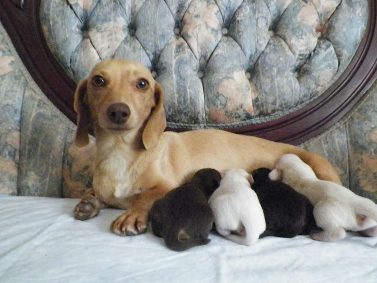 Dachshund Puppies PA | Dachshund Breeder - Cook's Wieners: Baby Weiners, Daschund, Weeniedog, Pistol, Puppys, Baby Dachshunds, Lunch, Photo, Sweet Mommy
