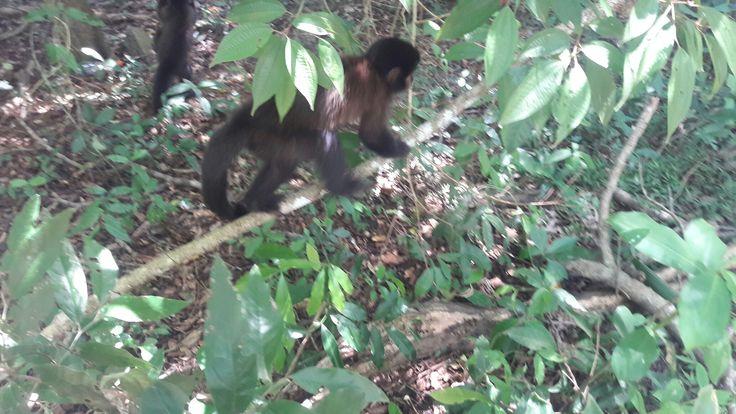 Monos capuchinos en Parque Iguazu