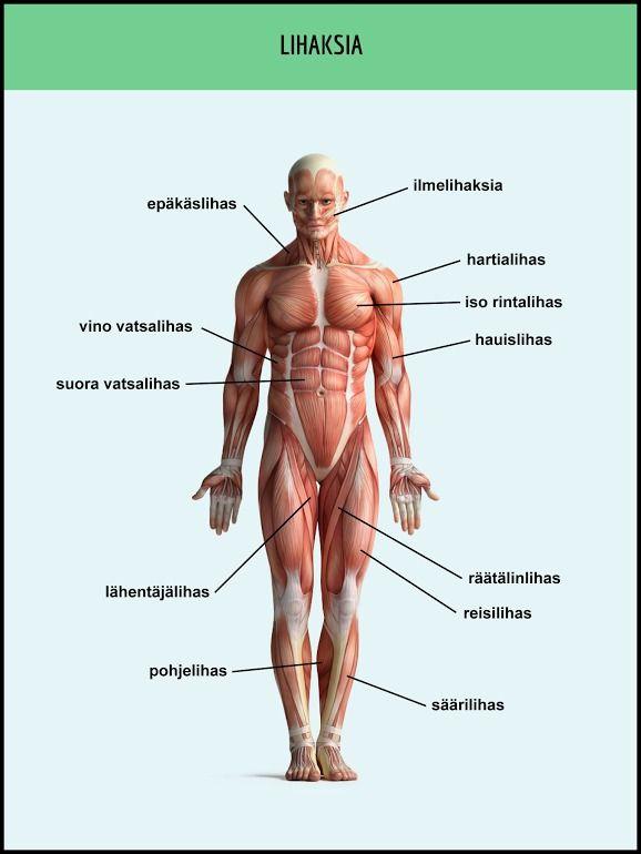 ihmisen pintalihakset suomeksi - Google-haku