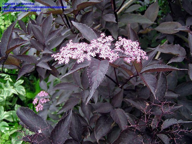22 best images about black elderberry shrubs on pinterest. Black Bedroom Furniture Sets. Home Design Ideas