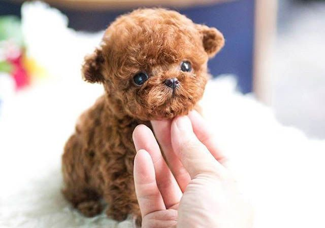 Foto Rolly Teacup Puppies Cuteteacuppuppies Foto Rolly Teacup Puppies Teacup Puppies Micro Teacup Puppies Teacup Poodle Puppies