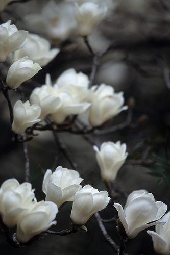 magnolia I love magnolia flower, especially white ones, which reflects the purity and serenity!! أحب زهرة الماجنوليا ،، خاصة اللون الأبيض منها الذي يعبر عن الطهارة والنقاء والصفاء !!