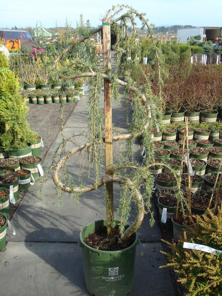 Monrovia Nursery Find At You Local Garden Center