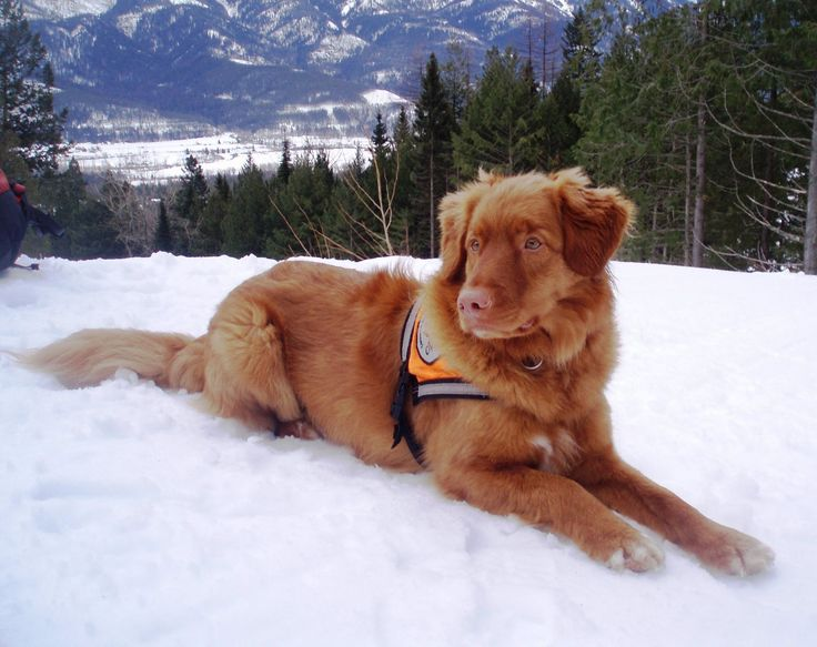 Search And Rescue Nova Scotia Duck Tolling Retriever